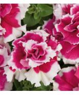 50 Pcs Seeds Double Pink White Petunia Flower - RK - $10.00