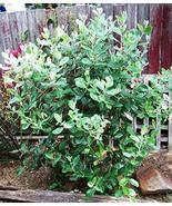 Pineapple Guava Aka Feijoa Sellowiana Live Plant Fit 1 Gallon Pot - $12.34