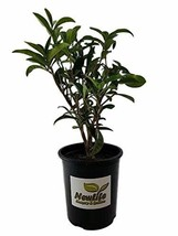 "Life Nursery & Garden- - Fudingzhu Fragrant Tea Olive- - Osmanthus"", Tra... - $29.17"