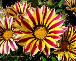 100 of Gazania flower seeds, Semillas Gazania Splendens Chrysanthemum G 02 - £0.67 GBP