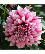 Red dahlias seeds potted flower seed for diy home garden 50pcs pack thumbtall