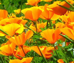 1000 Seeds California Poppy Orange Chief Eschscholzia, DIY Decorative Plant ov04 - $9.31