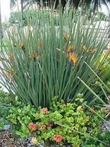 3 Seeds, Crane Flower Bird of Paradise Evergreen Perennial - $49.50