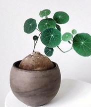 1 XL Bulb Stephania Erecta Plant, Rare Charlotte's Web Thailand Money Pl... - $130.00