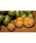 SHIP FROM US Giant Spanish Lime, MAMONCILLO, Quenepe Tree. 3'-4' tall TPE3 - $218.12