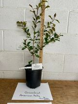 American Holly gallon pot image 4