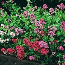 Jupiter's Beard Mixed colors Centranthus ruber 50 Seeds - $8.90