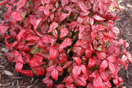 Dwarf Nandina Firepower (ornamental shrub) image 4