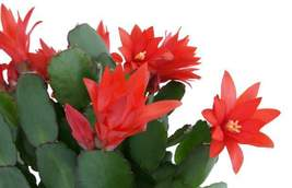 Christmas Cactus Schlumbergera Succulent Red Flower | 2 Cuttings - $21.50