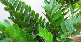 "Zamioculcas Zamiifolia Houseplant 6"" Pot Best Gift Indoor Bonsai FREE SHIP - $70.00"