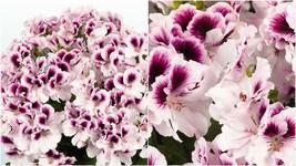 167 - 20 White Purple Geranium Seeds Perennial Flower Seed Flowers Bloom – RR01 - $23.95