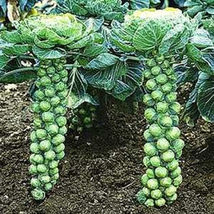 SHIP From US, 100 Seeds Long Island Brussel Sprouts, Vegetable Seed AM - $21.99