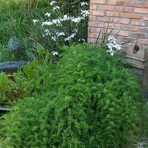 SHIP FROM US 240 Asparagus Fern Seeds (Asparagus Sprengeri), UTS04 - $59.98