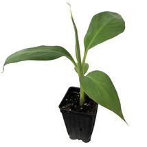 Live Plant Musa Veinte Cohol Banana Plantain fruit tree Live Plant Tropi... - $55.00