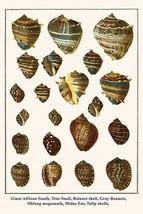 Giant African Snails, Tree Snail, Boinnet shell, Gray Bonnets, Oblong megasnails - $19.99+