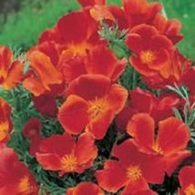1500 Seeds of Flower California Poppy Red Chief Eschscholzia Californica - $12.87