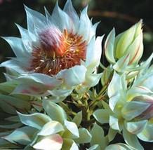 Serruria Florida * Blushing Bride * Pride oF Franschhoek * Very Rare * 3 Seeds* - $9.99
