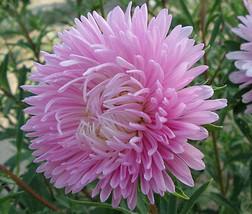 50 Seeds Aster Gremlin Double Light Rose - $12.98