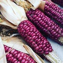 40 Seeds of Lavender Mandan Parching Corn / Zea mays - $13.85