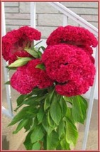 Hot Pink Brain Celosia 25 Seeds - Comb S/H See our store! - $15.48