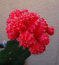"1 Pcs Gymnocalycium Mihanovichii Cacti ""Red Moon Cactus"" - $30.90"