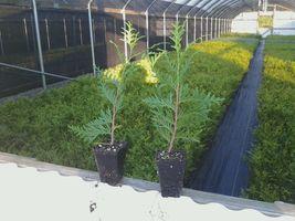 Green Giant Arborvitae 50 trees Thuja plicata 3 inch pot image 3
