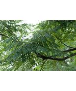 3 Variety Seeds - Kentucky Coffee Gymnocladus Dioicus Tree Seeds #TSP - $17.99+