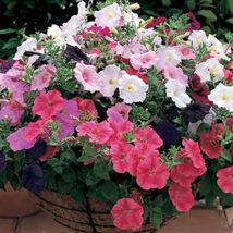 Trailing Petunia Mixed Colors Hybrida Pendula 25 Annual Seeds image 3