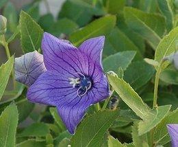 4 Starter Plants of Platycodon Grandflora Sentimental Blue - $138.60