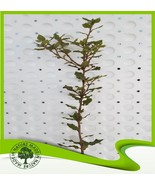 Quercus ilex (Holly oak) - Plant  - $14.64