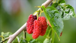 Edible Red Mulberry fruit tree plant red berry producing LIVE PLANT - $33.99