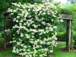 Live Plant - Climbing Hydrangea Vine - $51.99
