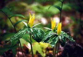 Yellow Trillium 10 bulbs (t. Luteum) wildflower image 6