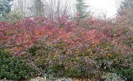 """Henry's Garnet Itea Virginica Sweetspire  4"""" pot image 6"""