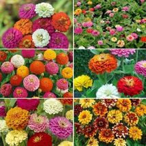 100 Seeds - 6 Species - Mix Zinnia - Zin Master Flower - $3.99