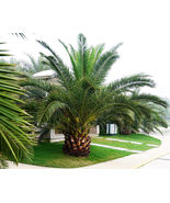 Pineapple Palm 5 seeds Phoenix canariensis Ornamental tree / bonsai Comb... - $13.58
