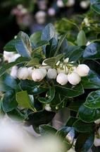 Gaultheria procumbens 'Peppermint Pearl'- Wintergreen - Starter Plant - $53.46