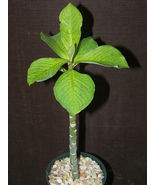 """SHIP From US, 4"""" pot Synadenium grantii, succulent plant cacti ECC - $44.99"""