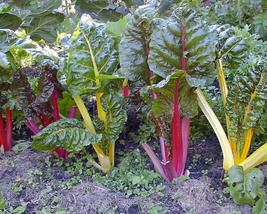 50pcs Very Tasty Edible Vegetable,Beet Chard Rainbow Mix Vegetable Seeds IMA1 - $13.99