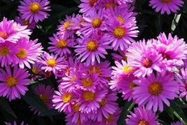 New York Aster (Pink) aka Aster nov. 'Patricia Ballard' Live Plant Fit 1... - $11.99