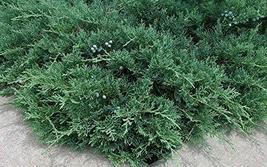 Blue Sargent Juniper - 30 Live Ground Cover Plants - Drought Tolerant Ev... - $92.98