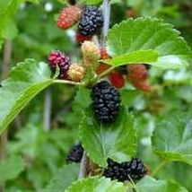 Red, Black, White Mulberry Tree Morus rubra 5 cuttings of each one 15 total - $35.31