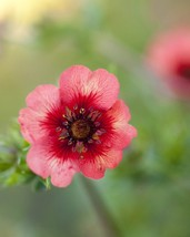 """1 Live Potted Plant sun potentilla MISS WILMONTT pink cherry-red fast 2.5"""" pot - $28.99"""