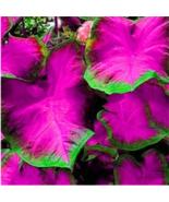 Multicolor Thailand Caladium Bonsai 150 Pcs /pack  - $14.95