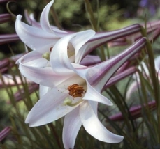 Lilium formosanum var. pricei (50 Seeds) 'Dwarf Formosa Lily, Perennial  - $17.65
