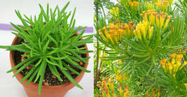 1,2,3 Cutting - Lemon Bean Bush Senecio Barbertonicus  #LRNG12 - $23.99+
