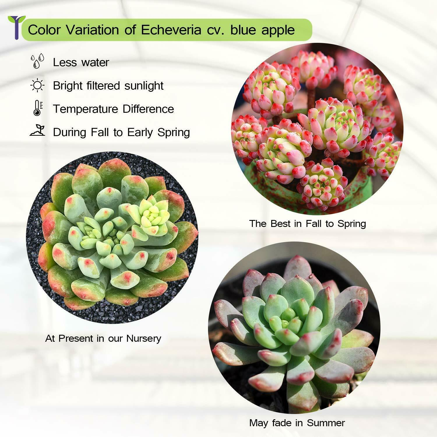 "Live Plant Echeveria cv. Blue Apple Succulent Rooted in 2"" Planter Home Garden image 4"