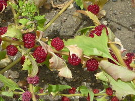 Ship From Us 100 Seeds Strawberry Stick Spinach Foliosum Fruit Berry Seed SBR4 - $11.99