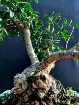 Bonsai Pistacia lentiscus - 20 years old plant- Mastic Tree,Evergreen Pistache - $235.20