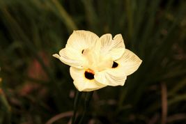 20 seeds - Yellow African Iris Fortnight Lily Dietes Bicolor Butterfly #... - $17.99